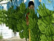 En el evento se desarrolló un panel de discusión sobre la plaga marchitez por Fusarium del banano (FOCR4T).