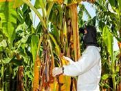 Países de la Comunidad Andina coordinan acciones de prevención conjunta para evitar dispersión de plaga fusarium (Foto: Senasa Perú)